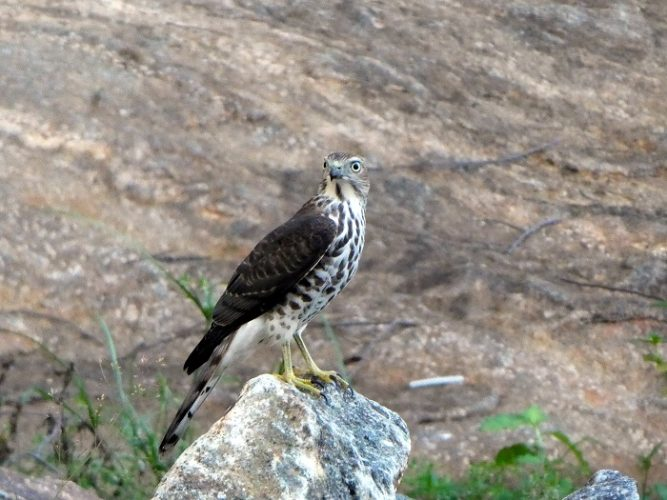 A shekra - bird of prey from the falcon family
